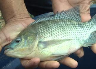 Programa Minas Rural desta semana destaca a produção de peixes